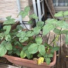 自宅枝豆の収穫時期が1週間遅かった気がする