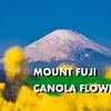 二宮に菜の花と富士山を撮りに行ってきた