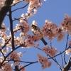 雀と大寒桜の花びら
