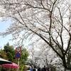 秋月へ桜に会いに。