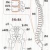 直立二足歩行する人間には、骨盤が重要!
