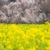 花見山公園の桜を観に行ってきた