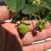 イチゴの水耕栽培、葉の剪定と摘花をしてみる