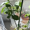 鉢植えレモンが開花しました!受粉しようと思ったら...|室内で鉢植えレモン『アレンユーレカレモン』栽培
