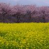 大井町 篠窪の菜の花