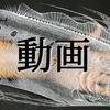 切り絵『リュグウノツカイ/King of Herrings』制作動画