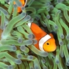 クマノミさんたち、結構カメラ目線くれます  The Kumanomi(Anemone fish) family often give us straight gaze into the camera