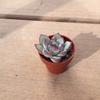 やっと出会えた、花うらら(プリドニス)と、ケッセルリンギアナの植え替え