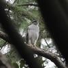 キビタキ・サンコウチョウ・コサメビタキ・オオタカほか(大阪城野鳥探鳥 20200919 5:30-12:40)