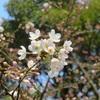 都内の桜の開花状況と靖国神社の桜の標本木(東京)を観察してみる!