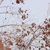 マヒワ・ヒレンジャク・トラツグミ・アカハラ・シメ(大阪城野鳥探鳥20210223 6:20-12:25)