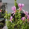 花盛りのベランダ