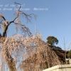 唯信寺の桜・・