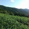 ナラシ作業で一変する茶畑の様子