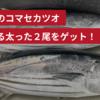 相模湾のコマセカツオチャレンジ!美味しそうな戻り鰹が釣れました!