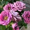 "【庭】Rosa.min "" Lavender Kordana """