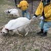 ヤギの草取り~パート2~