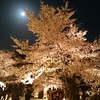 京都で満開の桜を満喫してきました