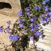 ベロニカ オックスフォード ブルーが2020年も咲き始めました