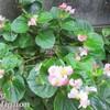 10月18日の誕生花の一つは「ベゴニア」
