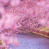春を待ちきれないなら笠松河津桜ロード(2/27)