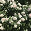 バラの家の棚卸終了。14日20:00からのセール品 おすすめ18