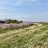 野田市スポーツ公園の桜は見頃だった