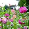 59.東京 町田ダリア園 ダリアと萩の花
