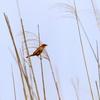 囀りながら飛ぶオオセッカ