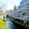 神田川桜並木〜八丁堀のしだれ桜🌸