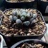 【植物】ハオルチアのすすめ 其の二