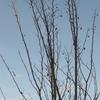 樹木:エゴノキ・ホワイトアングル