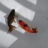 結局我慢できずにイノフェス魚。