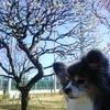 隅田公園の梅園をミントと散策