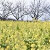 早咲きの菜の花 後編