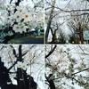 北関東では~今年の桜は気が早すぎますね( ゚Д゚)