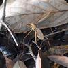 ミカドガガンボ  巨大な蚊?