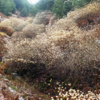 ミツマタが満開です。青貝山の谷あいを埋める見事な群生です。山歩きの記録(6)