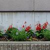 ひさしぶり・・・ アパートの花たち