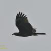 鷹の渡り(ハチクマ若)