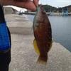 12月の田ノ浦漁港でサビキ釣り