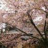 奈良公園・四季亭周辺の桜(3月下旬~4月上旬)