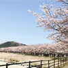 桜満開、花鳥風月、日本の美