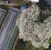 純白の花、里山に彩り 宇土市でハクモクレン見頃