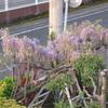 庭の藤の木の花が咲いています。