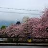 京都のお散歩 『鴨川沿いの桜』 2017年雨のおかげで貸し切り状態で散歩です