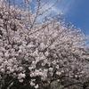佐賀県)名護屋城跡の桜