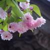 来迎寺菊桜