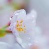 雨雫と桜[明石公園]