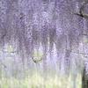 和気公園の藤